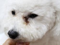 犬グッズ 涙やけクリーナー ポチタマ